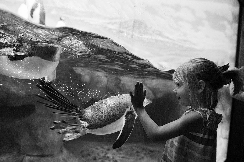 Girl watching penguins swim at the aquarium.