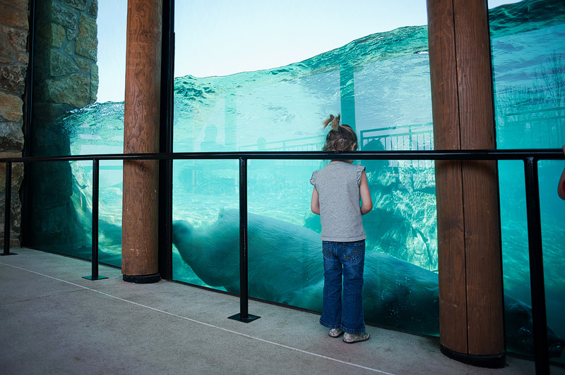 Little girl at Kansas City Zoo watching polar bear