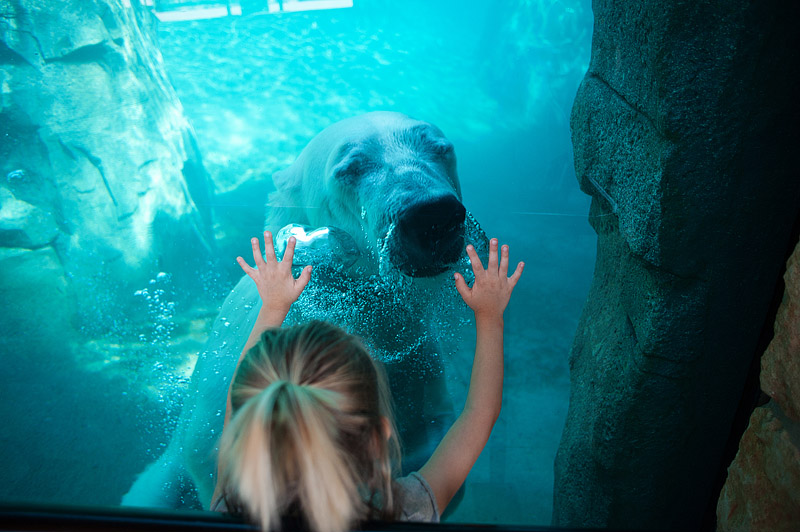 Nikita the polar bear at Kansas City Zoo