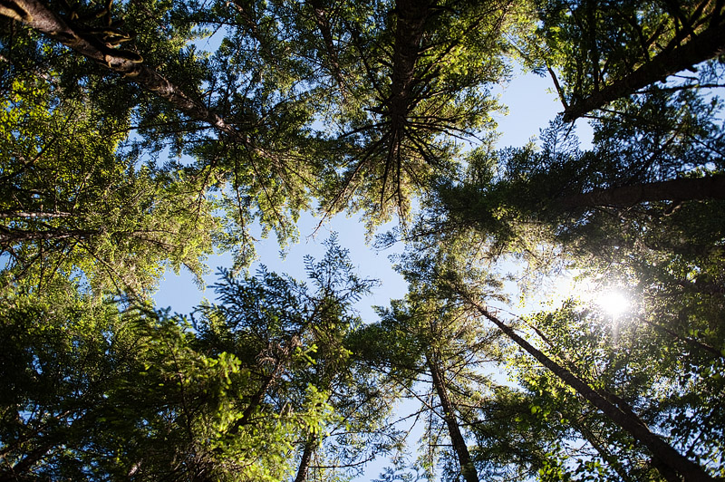 Upward view of treetops in the Oregon forest.