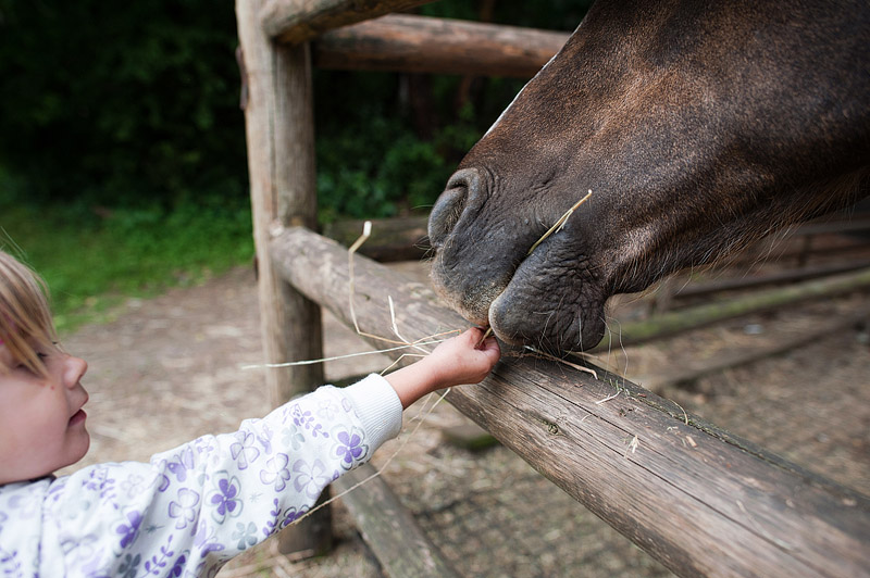 Toddler feeding a horse.