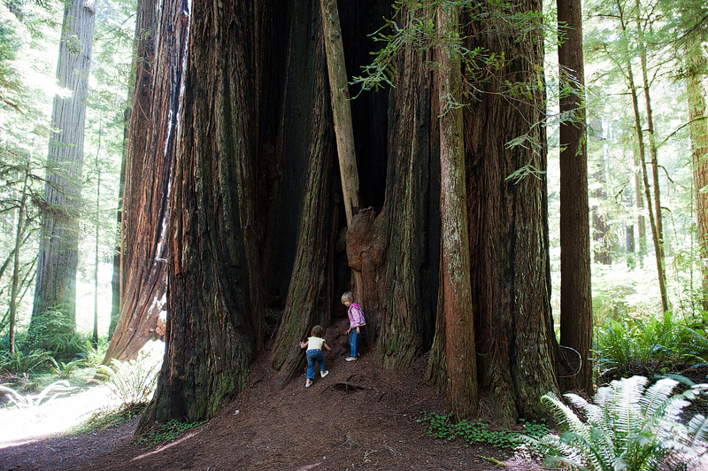 Kids playing at the foot of a redwood tree.