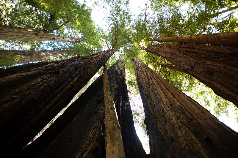 Looking up at the redwoods.
