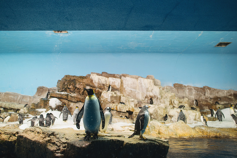 Awesome penguins of Sea World San Antonio.