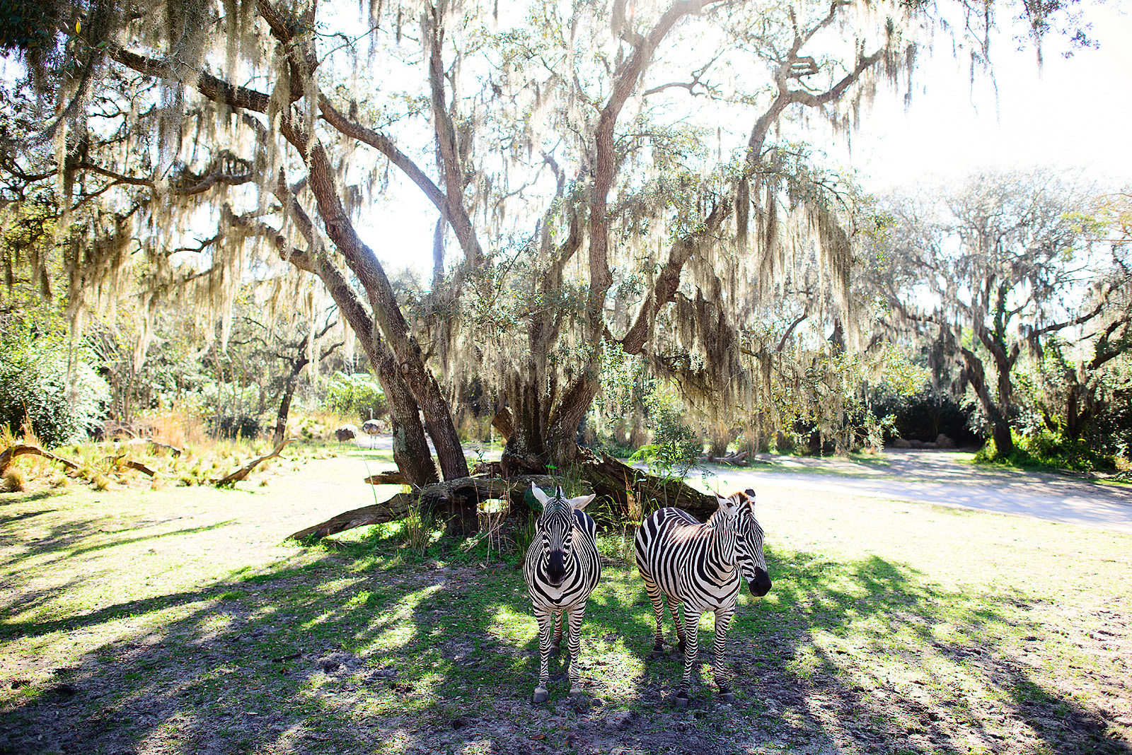 zebras hanging out at Animal Kingdom Kilimanjaro Safari